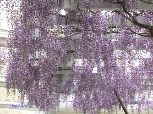 藤の花 Wisteria_e0140365_22103761.jpg