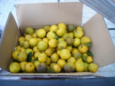 お客様の庭に実った柚子の実 今年は大豊作でした_e0215910_024020.jpg