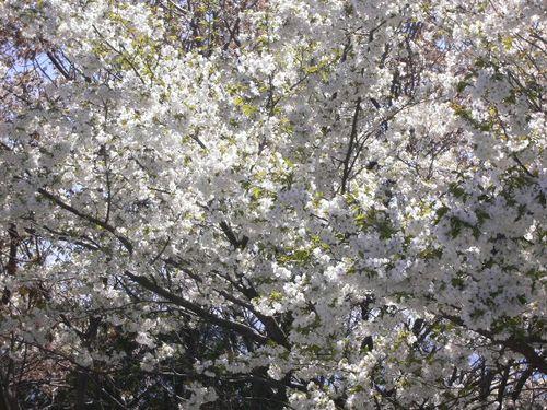 庭の贈物 Gift from my garden: 2008年 桜 Cherry blossoms_e0140365_135044.jpg