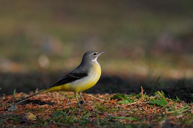 キセキレイ 他の鳥さん達6種_f0053272_942471.jpg