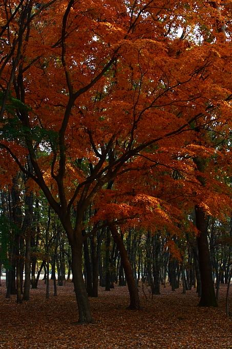都立野川公園の紅葉 その4_e0165983_1347144.jpg