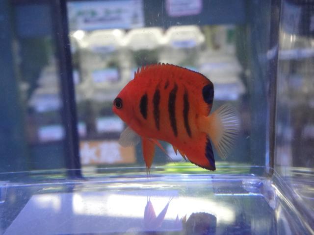 海水魚・サンゴ・水草・淡水魚_f0189122_1315389.jpg