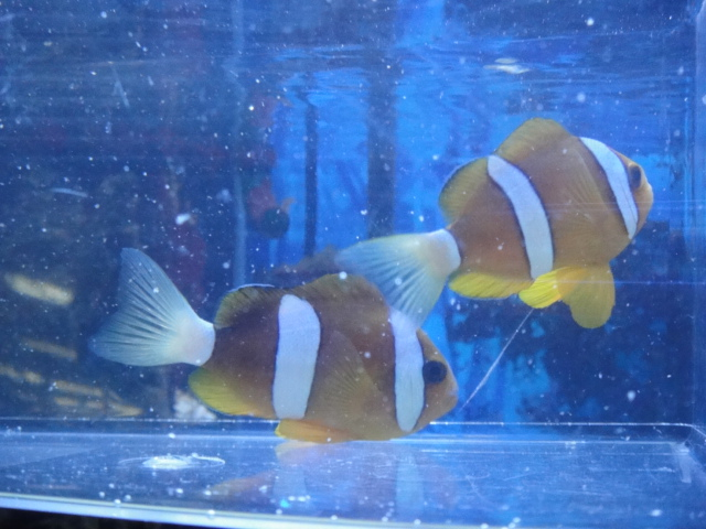 海水魚・サンゴ・水草・淡水魚_f0189122_1334432.jpg