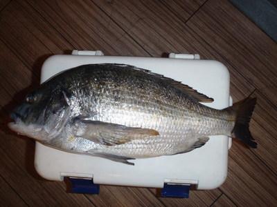 小川さん 12月5日 名古屋港 シーバス、根魚、黒鯛_a0153216_22194796.jpg