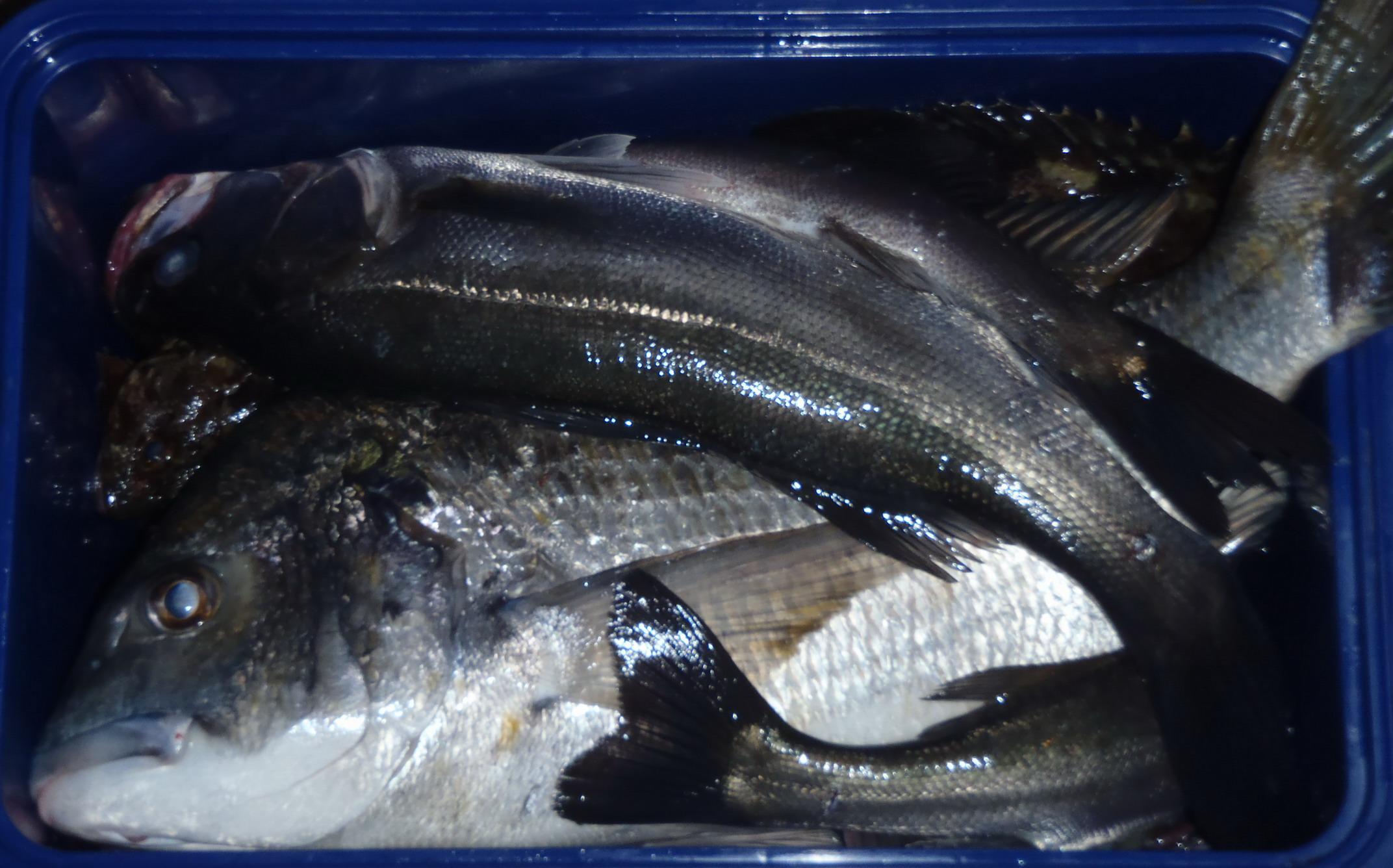 小川さん 12月5日 名古屋港 シーバス、根魚、黒鯛_a0153216_22381030.jpg