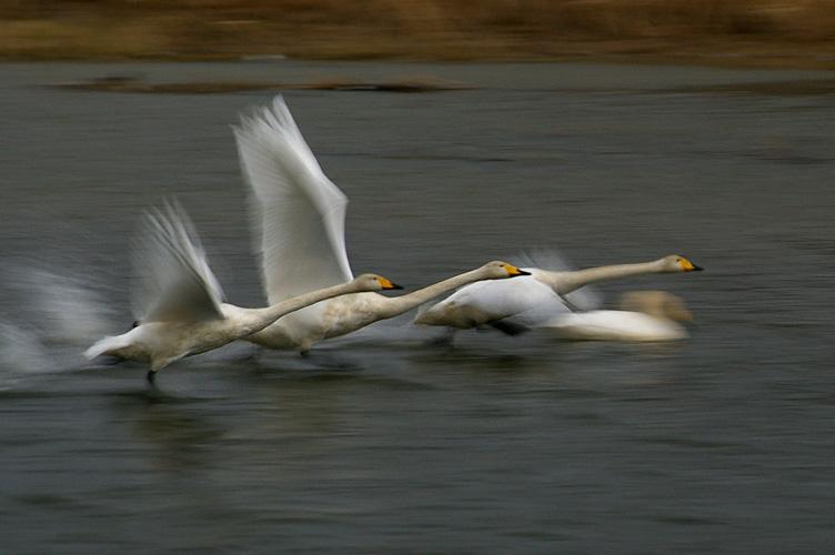 白鳥、一生懸命走る_f0152939_16311883.jpg