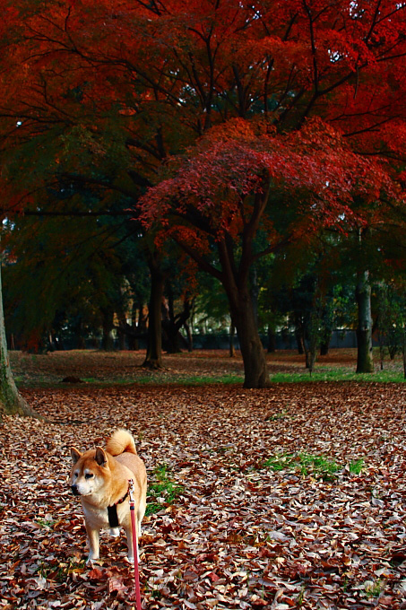 都立野川公園の紅葉 ラスト_e0165983_11184935.jpg