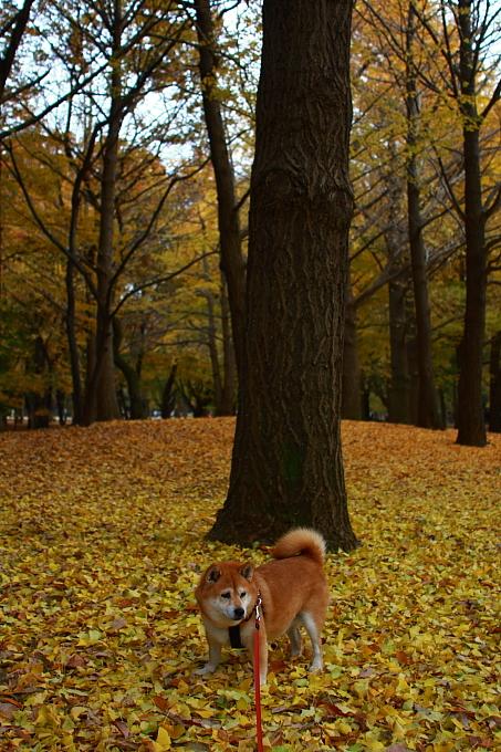 都立野川公園の紅葉 ラスト_e0165983_11241031.jpg