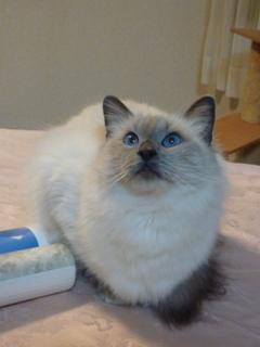 猫のお友だち たまくんsavaちゃんもんさんちゃんちょこちゃん編。_a0143140_20304810.jpg
