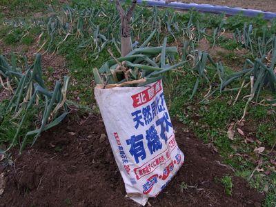 仙台曲がりネギの収穫_c0063348_2044258.jpg