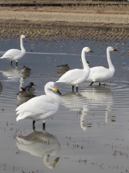 白鳥のいる風景_a0170699_15274082.jpg