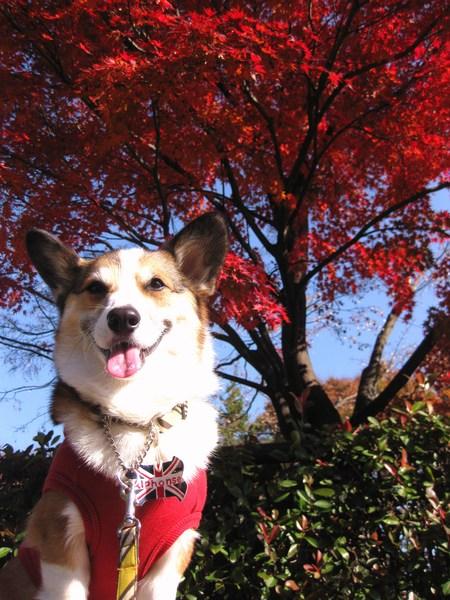 モモチちゃんと紅葉デート~♪ ~紅葉とボク編~_f0155118_1135135.jpg