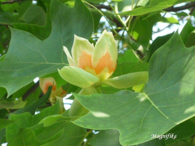 ユリノキ Tulip Tree_e0140365_22393450.jpg