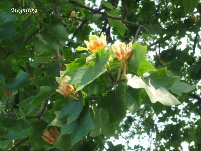 ユリノキ Tulip Tree_e0140365_22401514.jpg