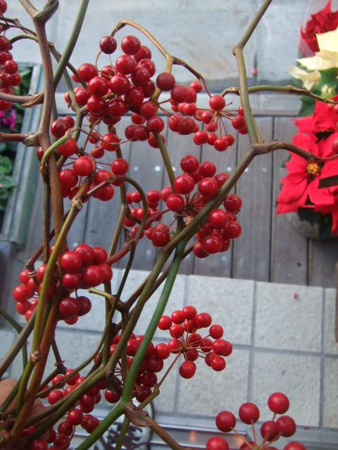 オークリーフ(クリスマスブッシュ)_f0049672_1319352.jpg