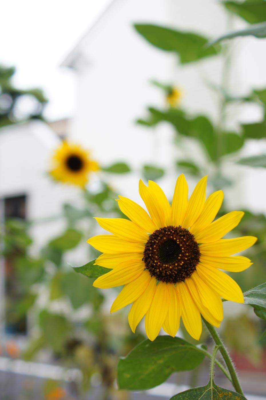 sunflower_e0216133_238457.jpg
