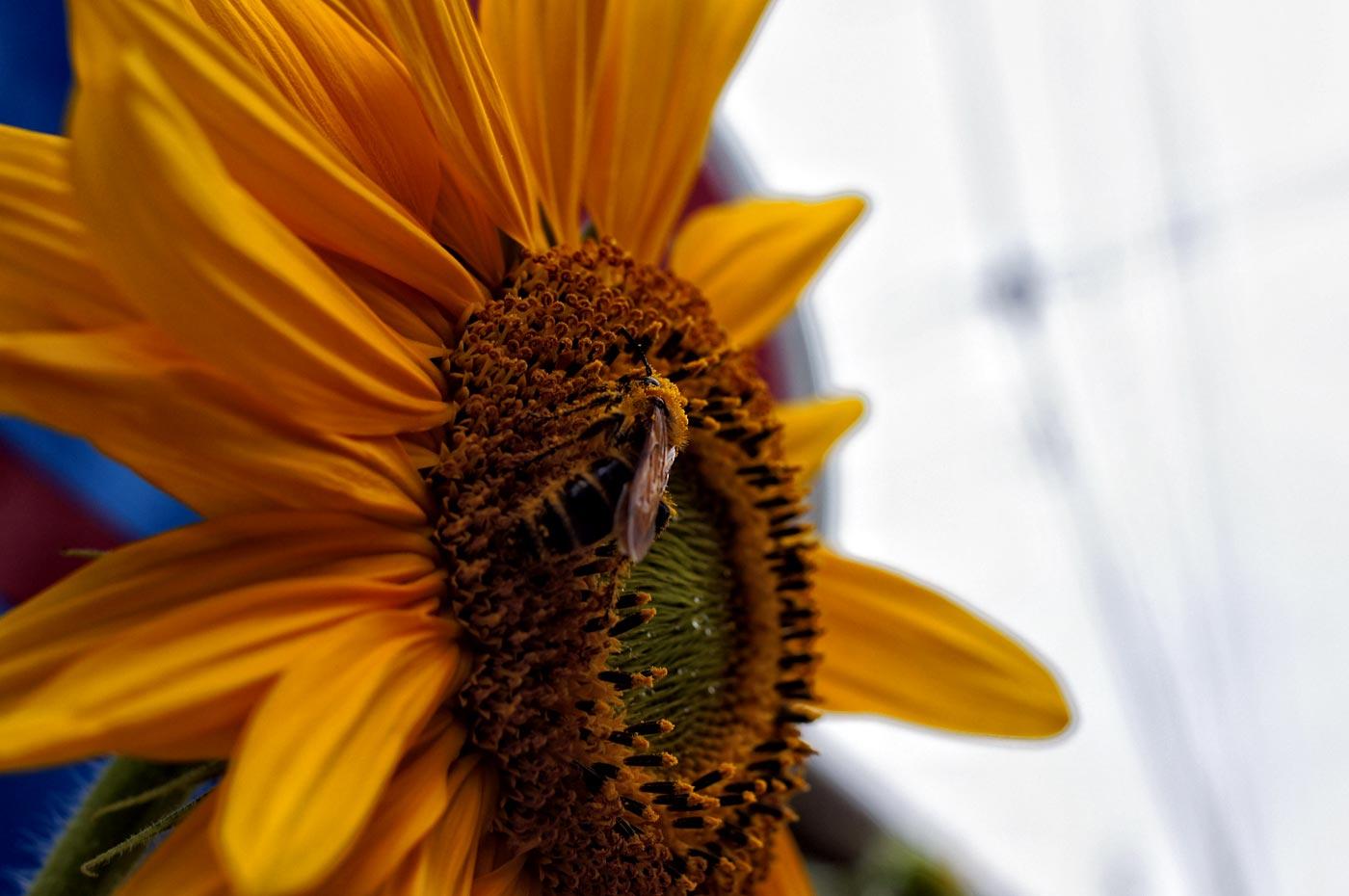 sunflower_e0216133_2385038.jpg