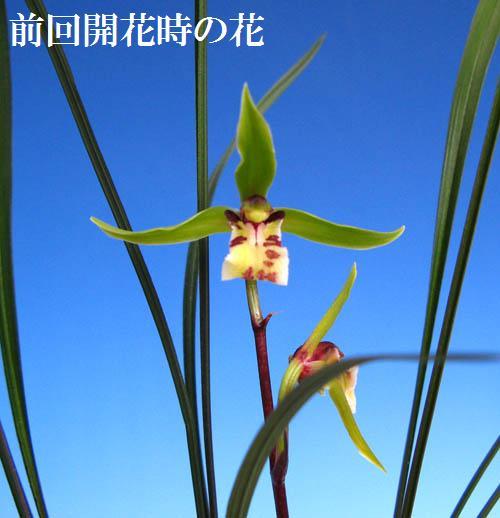 東洋蘭「紫秀蘭」のチョッと奇花            No.907_d0103457_20382426.jpg