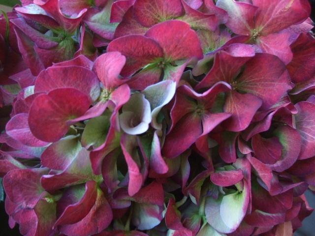オークリーフ(バラ・ピアノと紫陽花とホーリー、赤系のアレンジメント)_f0049672_13352342.jpg