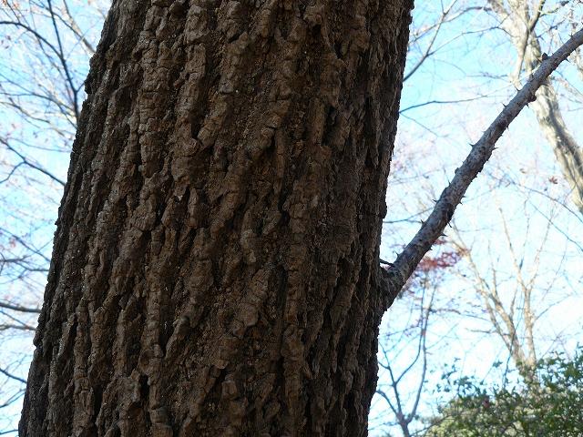 =キバネセセリ=食樹・・・ウコギ科・「ハリギリ」_d0019074_1702539.jpg