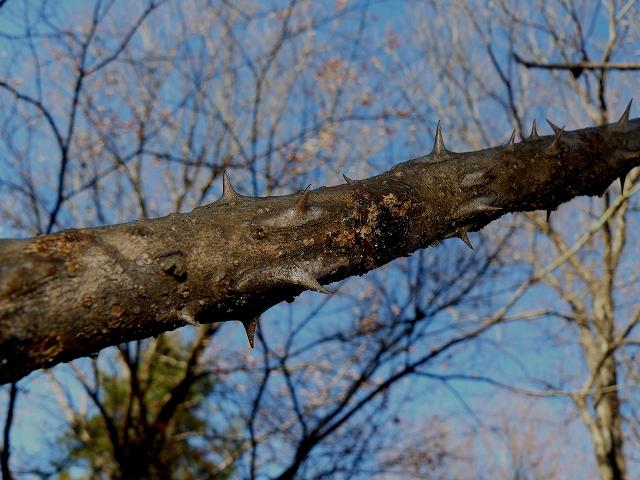 =キバネセセリ=食樹・・・ウコギ科・「ハリギリ」_d0019074_171827.jpg