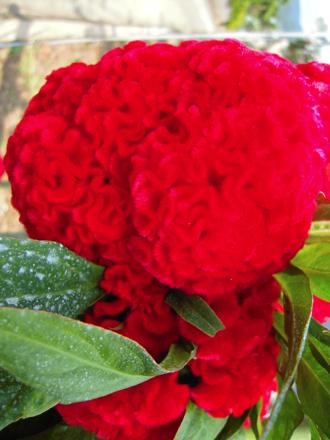 赤い花DSCN0358(変換後)