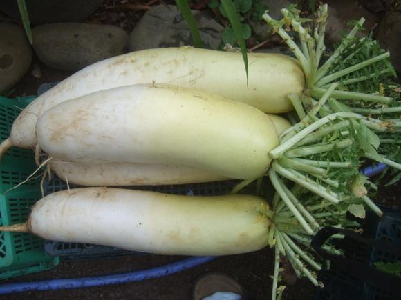 冬野菜は豊作!_b0137932_16172317.jpg