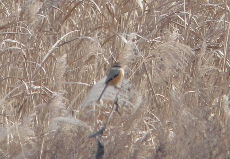 多摩川で野鳥観察会_f0059673_2133692.jpg