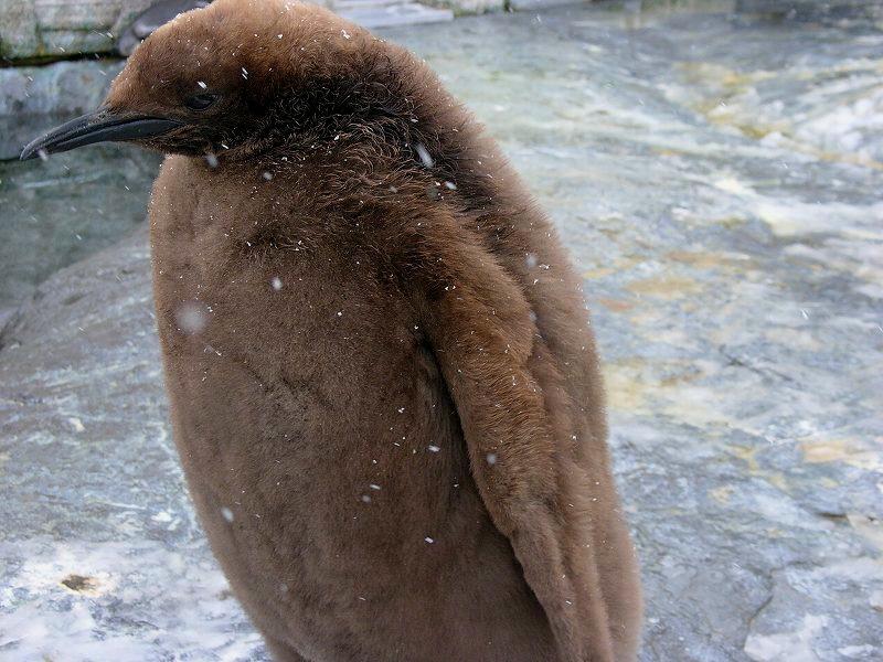 旭山動物園  ペンギンの赤ちゃん 手でさわれるほど近くに_a0160581_11195947.jpg