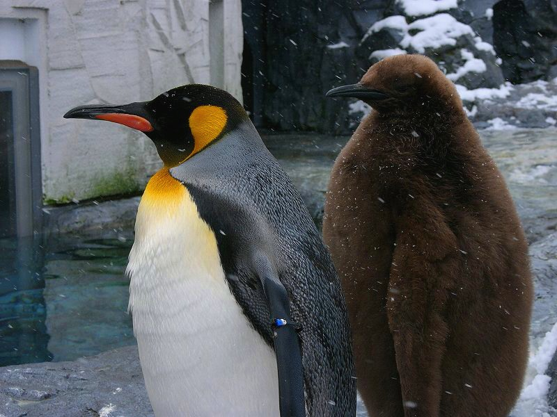 旭山動物園  ペンギンの赤ちゃん 手でさわれるほど近くに_a0160581_1120269.jpg