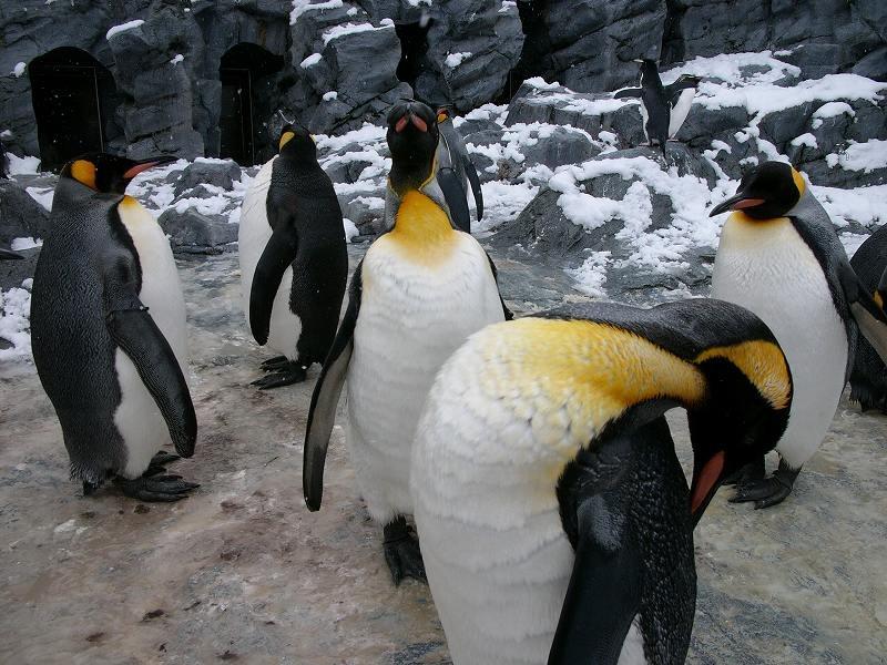 旭山動物園  ペンギンの赤ちゃん 手でさわれるほど近くに_a0160581_11204918.jpg
