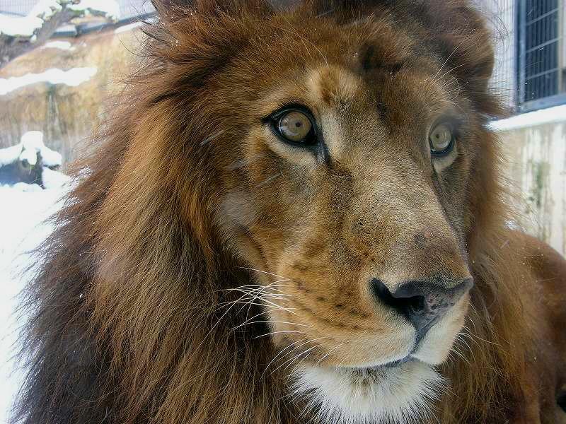 旭山動物園  雪のライオン  ガラス越しとはいえ 近ずき過ぎ _a0160581_1124364.jpg