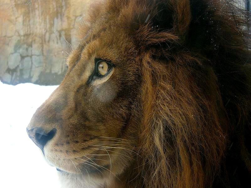 旭山動物園  雪のライオン  ガラス越しとはいえ 近ずき過ぎ _a0160581_1125471.jpg