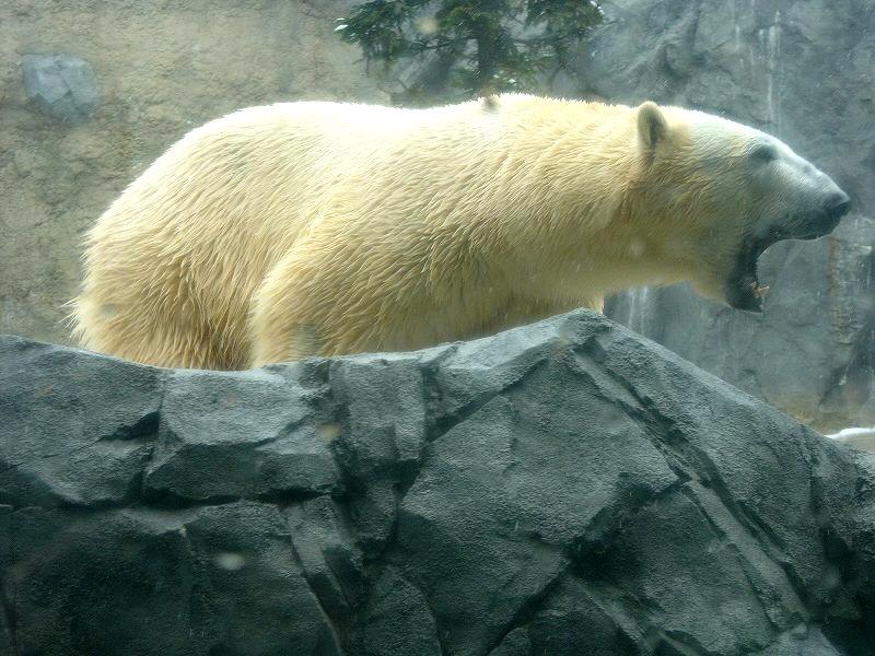 旭山動物園  白熊ダイブ 迫力_a0160581_11282341.jpg