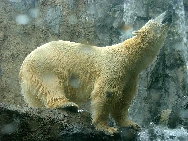 旭山動物園  白熊ダイブ 迫力_a0160581_11283592.jpg