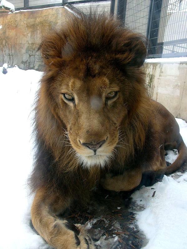 旭山動物園  雪のライオン  ガラス越しとはいえ 近ずき過ぎ _a0160581_113438.jpg