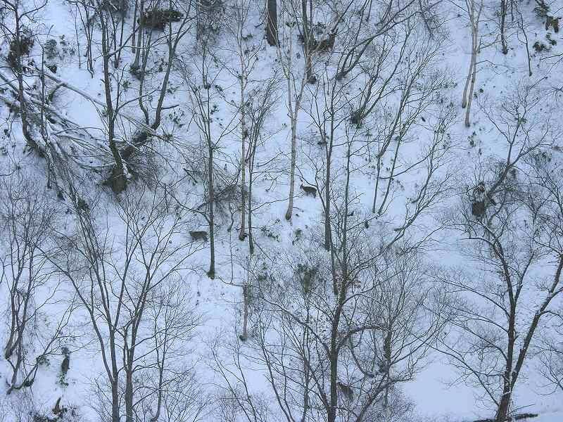 旭川 ロープウェイの眼下には エゾシカの群れ 厳しい自然だ_a0160581_11453322.jpg