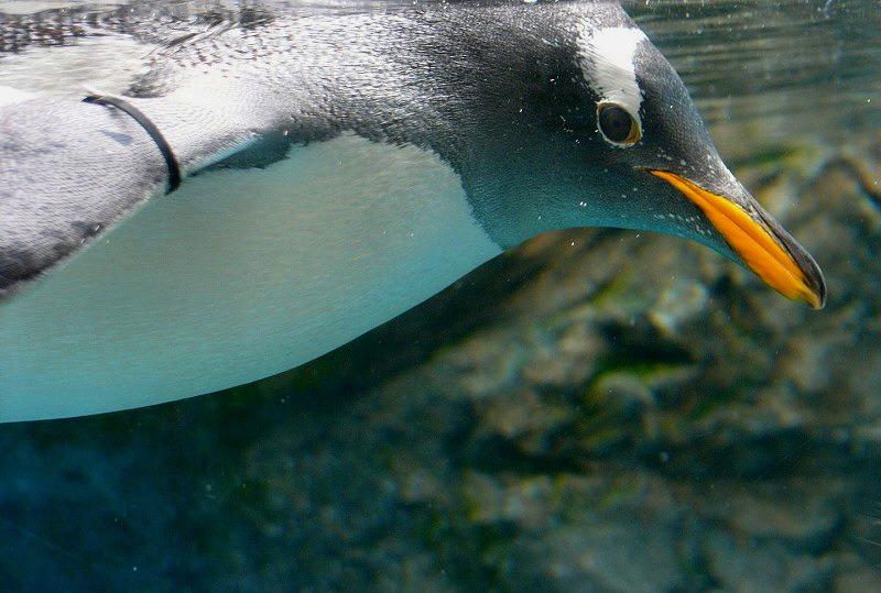 ペンギン なんか違った一面を感じた 旭山動物園の魅力_a0160581_1184344.jpg