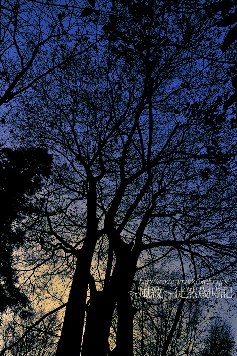 A dead tree and the evening sky of the winter._f0235723_2045674.jpg