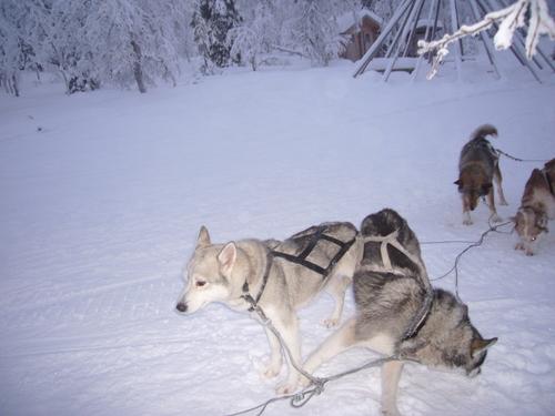 フィンランド そり遊び 2007_d0193569_1121519.jpg