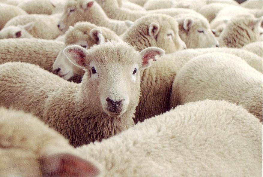 ... 画像まとめ【羊】 - NAVER まとめ : 無料 羊 : 無料