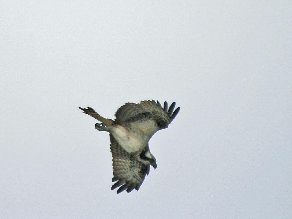何処でも猛禽が飛ぶと・・・_c0018118_23532737.jpg