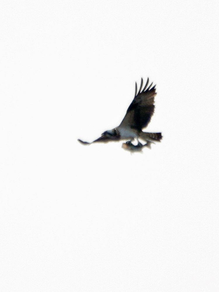 何処でも猛禽が飛ぶと・・・_c0018118_23552638.jpg