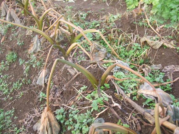 野菜畑に霜が...._b0137932_15292349.jpg