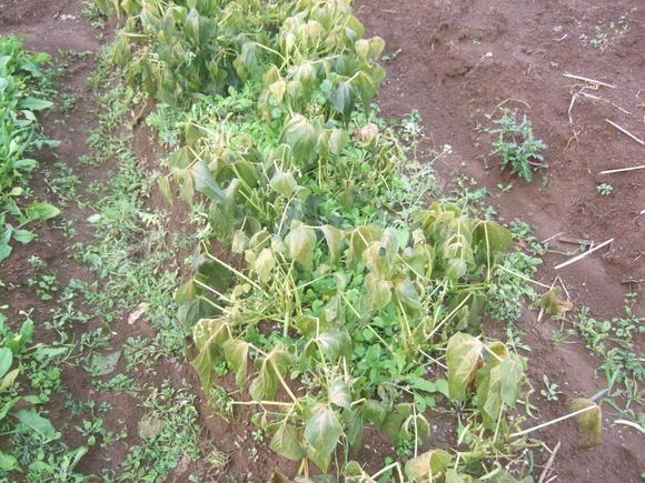 野菜畑に霜が...._b0137932_15294365.jpg
