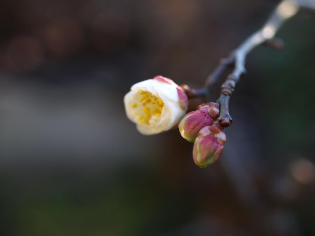 梅の花、蝋梅の種_e0094102_1383844.jpg