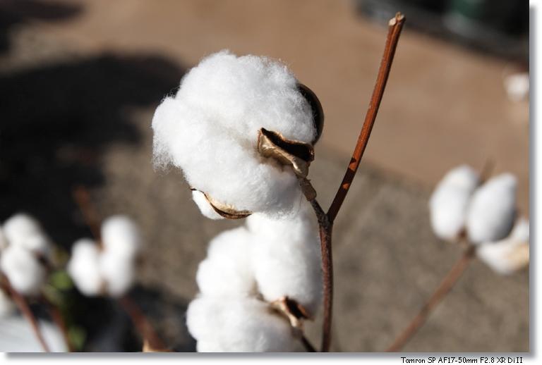 綿の花_c0054876_16191570.jpg