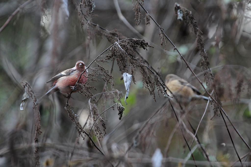 赤い鳥ベニマシコ♂/暮れの障子張り_b0024798_653257.jpg