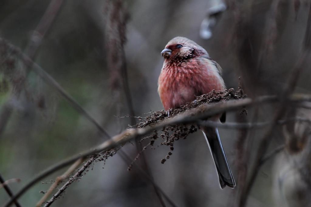 赤い鳥ベニマシコ♂/暮れの障子張り_b0024798_6533864.jpg