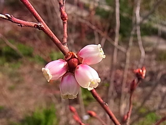 年の瀬のブルーベリーの花_e0181373_20542699.jpg